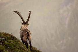 Ibex Back