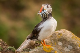 Puffin with Sandeell on the watch out