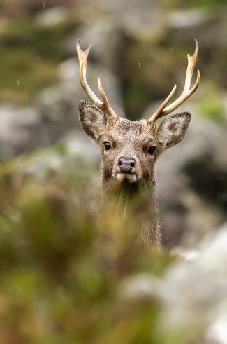Sika Deer Rain