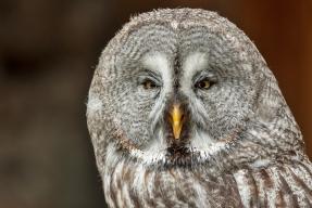 Great Grey Owl Lordat