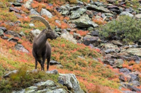 Vanoise Alpine Ibex