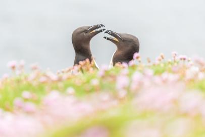 Razorbills love