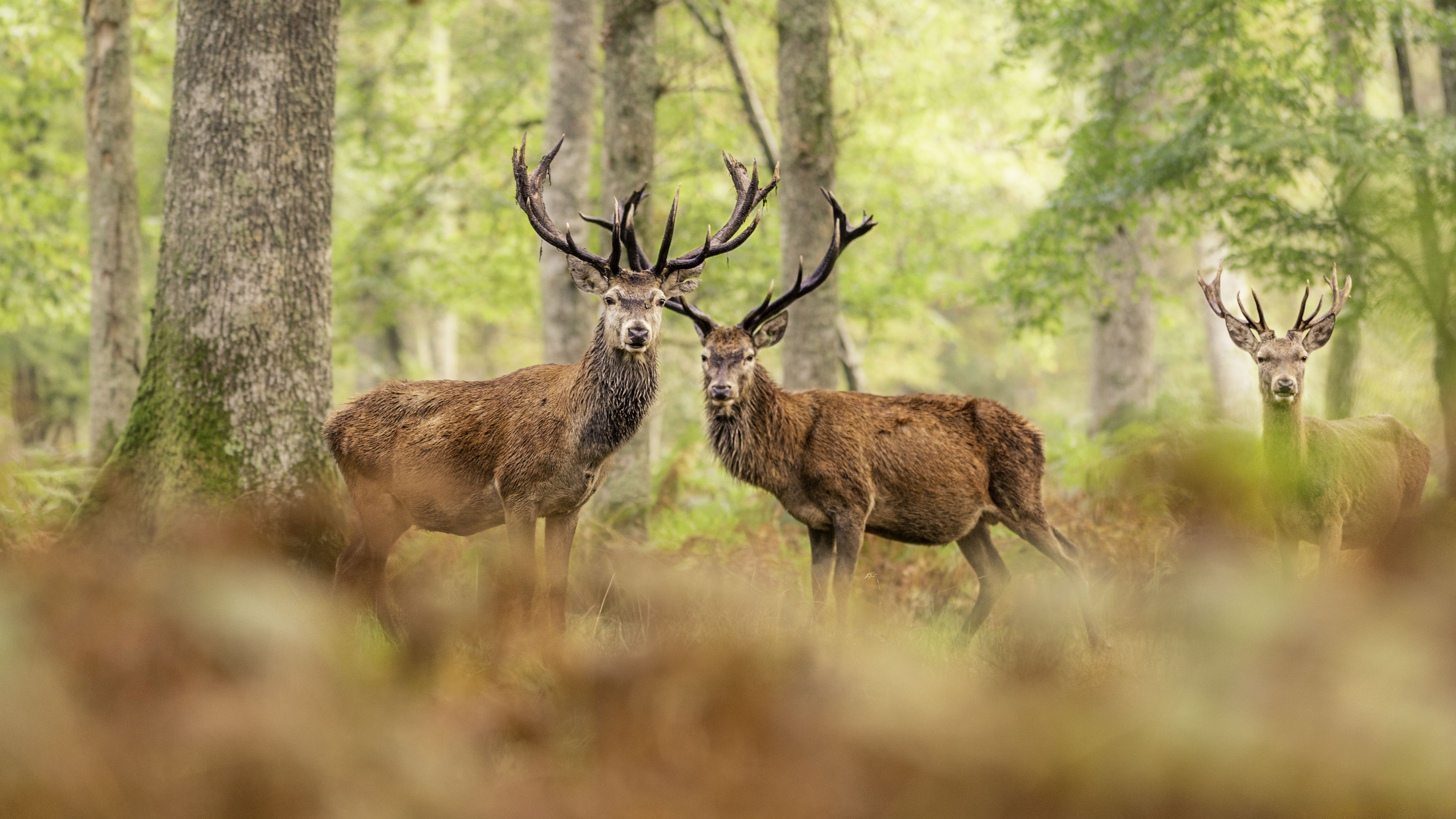 3 red stag
